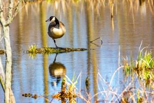 Banded Goose