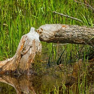 Beaver Evidence