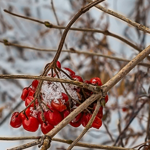Berries in February