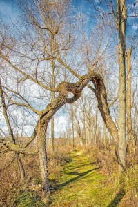 Fallen Tree over Great Marsh Trail