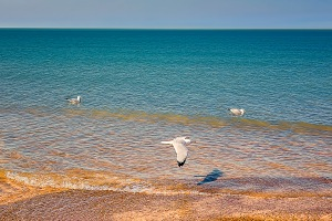 Gulls Along Shore