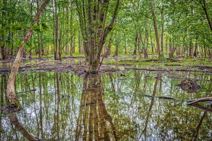 Marsh Forest After May Rain