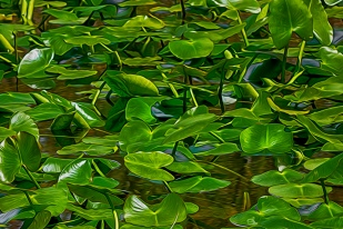 Marsh Lily Pads