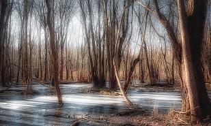 Morning Light Through Marsh Trees in Winter