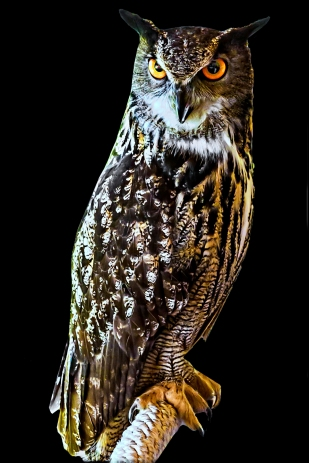 Owl in Side Light