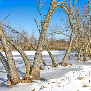 Pond Trees in Winter