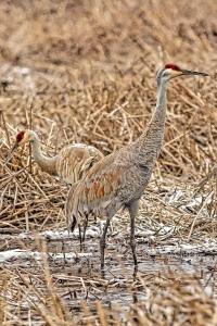 Sandhill Cranes at Great Marsh