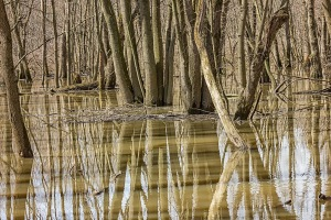 Spring Flooding in Swamp Forest