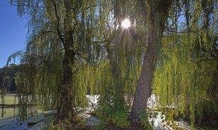 Sun Between Willows