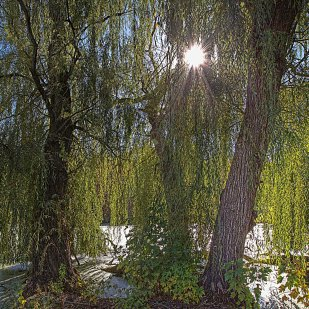 Sun Between Willows