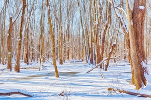 Swamp Forest Following Snow