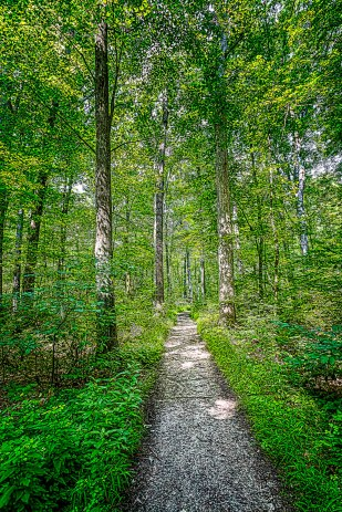 Trail Through Tall Trees