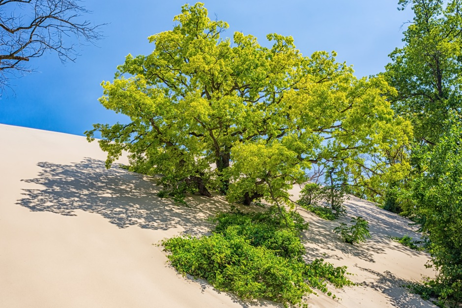 Tree Swallowed by Wandering Sand Dune