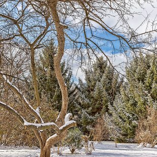 Twisted Tree in Winter