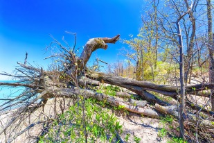 Upturned Tree Blocking Ridge Trail