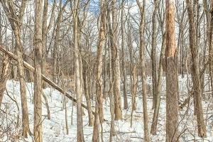 Woods in Winter Light
