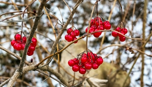 Berries and Bare Branches