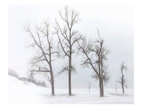 Dune Trees in Winter