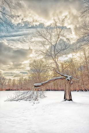 Broken Tree After Snow