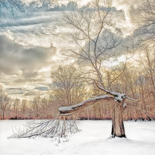 Broken Tree After Snow