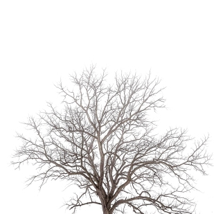 Tree in Fog AfterSnow