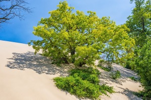 Tree Swallowed by Sand Dune During Summer