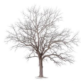 Tree Following Snowfall sq